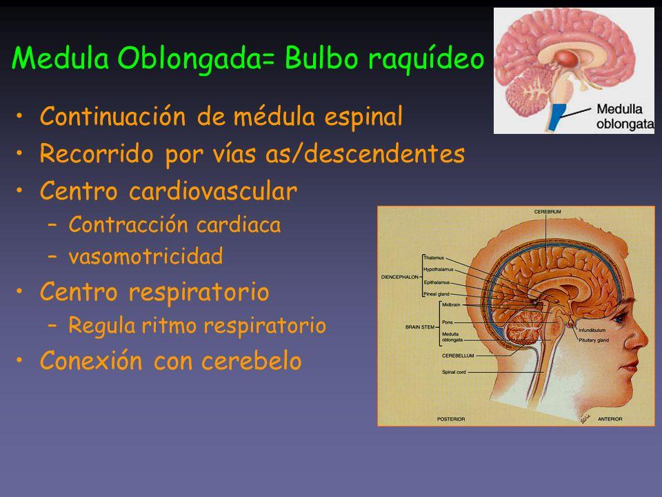 Medula Oblongada= Bulbo raquídeo Continuación de médula espinal Recorrido por vías as/descendentes Centro cardiovascular –Contracción cardiaca –vasomo