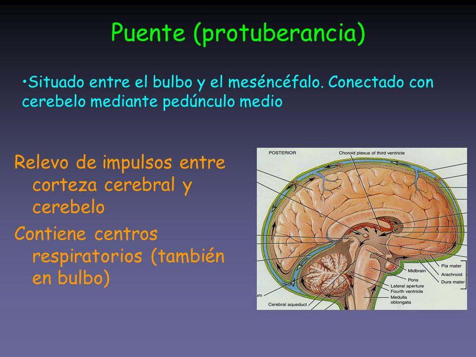 Puente (protuberancia) Relevo de impulsos entre corteza cerebral y cerebelo Contiene centros respiratorios (también en bulbo) Situado entre el bulbo y