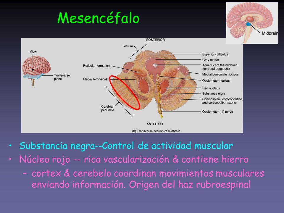 Substancia negra--Control de actividad muscular Núcleo rojo -- rica vascularización & contiene hierro –cortex & cerebelo coordinan movimientos muscula