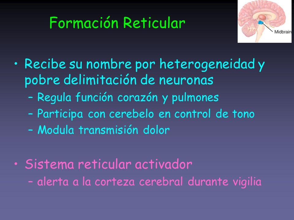 Formación Reticular Recibe su nombre por heterogeneidad y pobre delimitación de neuronas –Regula función corazón y pulmones –Participa con cerebelo en