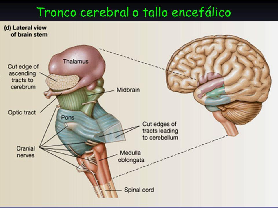 Tronco cerebral o tallo encefálico