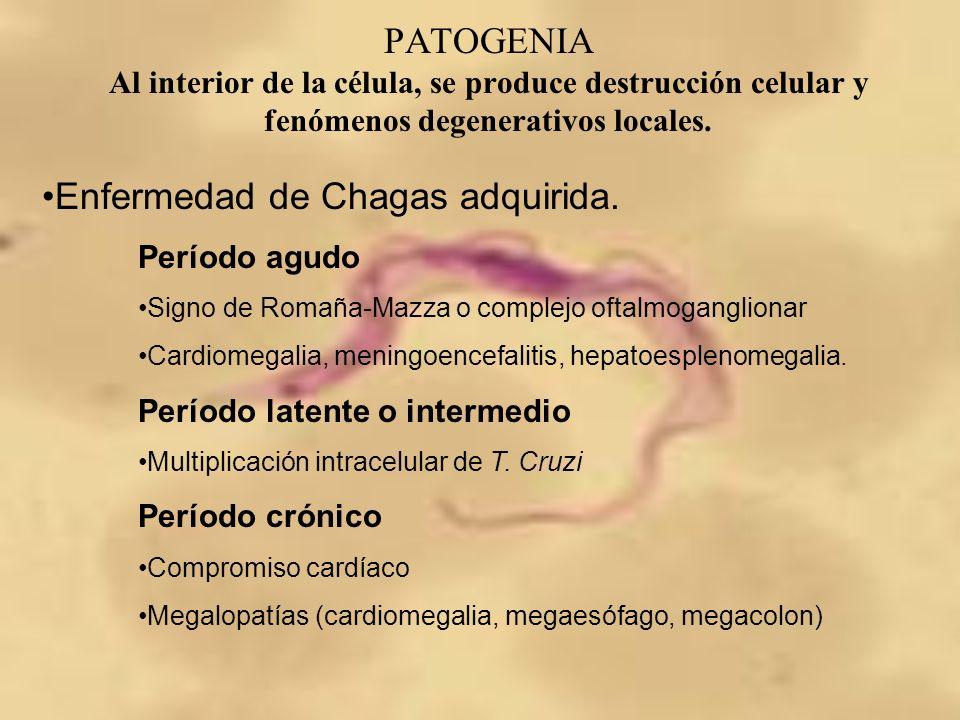 PATOGENIA Al interior de la célula, se produce destrucción celular y fenómenos degenerativos locales. Enfermedad de Chagas adquirida. Período agudo Si