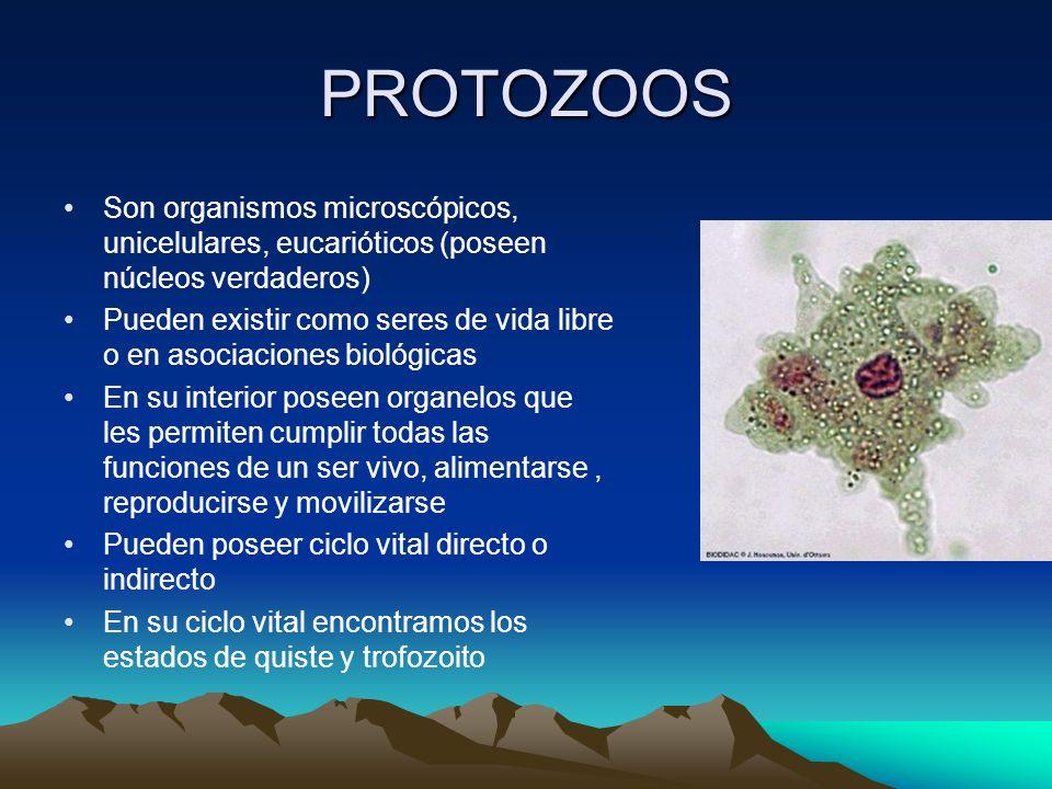 PROTOZOOS Son organismos microscópicos, unicelulares, eucarióticos (poseen núcleos verdaderos) Pueden existir como seres de vida libre o en asociacion