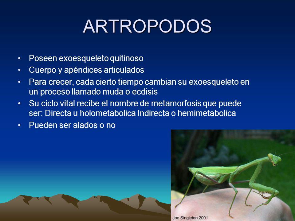 ARTROPODOS Poseen exoesqueleto quitinoso Cuerpo y apéndices articulados Para crecer, cada cierto tiempo cambian su exoesqueleto en un proceso llamado