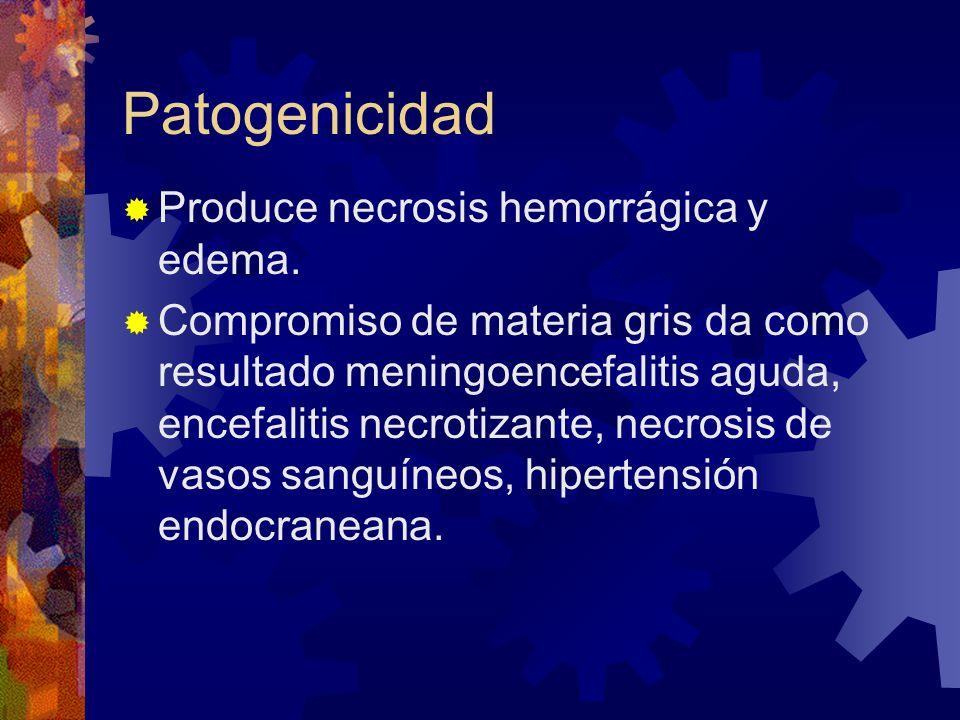 Patogenicidad Produce necrosis hemorrágica y edema. Compromiso de materia gris da como resultado meningoencefalitis aguda, encefalitis necrotizante, n