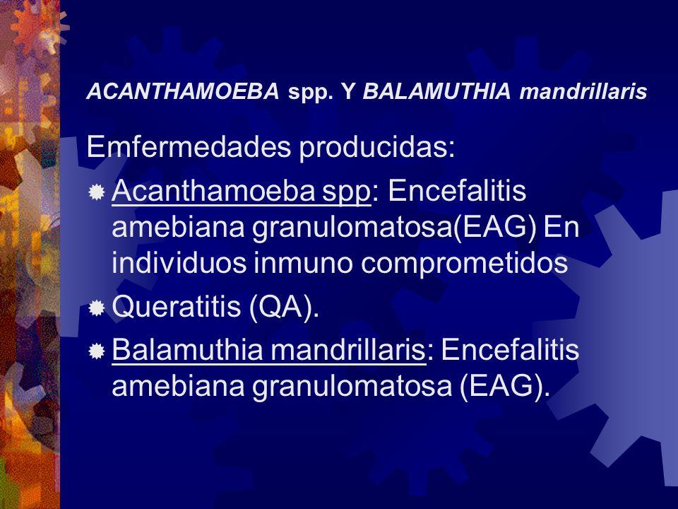 ACANTHAMOEBA spp. Y BALAMUTHIA mandrillaris Emfermedades producidas: Acanthamoeba spp: Encefalitis amebiana granulomatosa(EAG) En individuos inmuno co