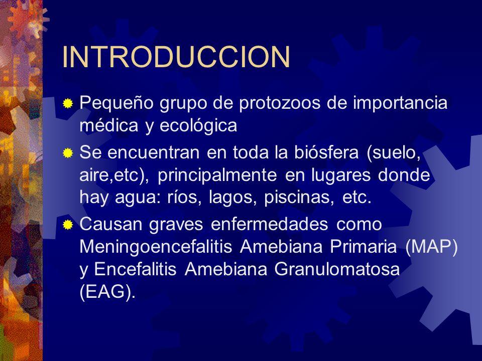 INTRODUCCION Pequeño grupo de protozoos de importancia médica y ecológica Se encuentran en toda la biósfera (suelo, aire,etc), principalmente en lugar