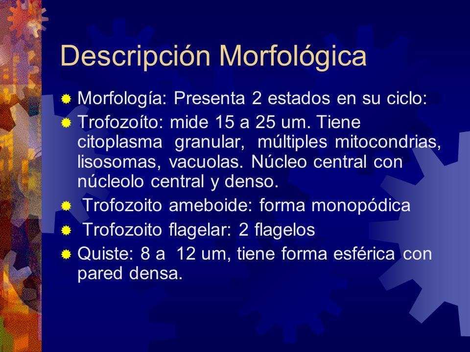 Descripción Morfológica Morfología: Presenta 2 estados en su ciclo: Trofozoíto: mide 15 a 25 um. Tiene citoplasma granular, múltiples mitocondrias, li