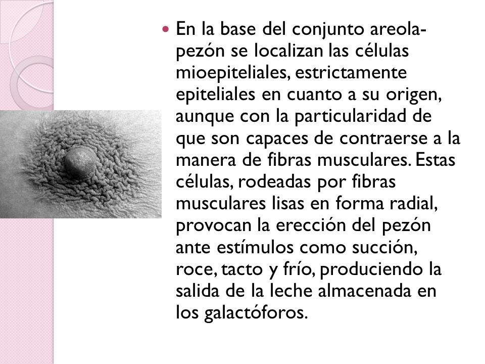 En la base del conjunto areola- pezón se localizan las células mioepiteliales, estrictamente epiteliales en cuanto a su origen, aunque con la particul