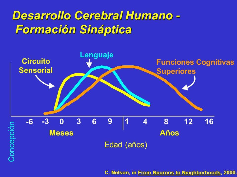 0 1 481216 Edad (años) Desarrollo Cerebral Humano - Formación Sináptica Formación Sináptica Lenguaje Funciones Cognitivas Superiores 3 6 9 -3 -6 Meses