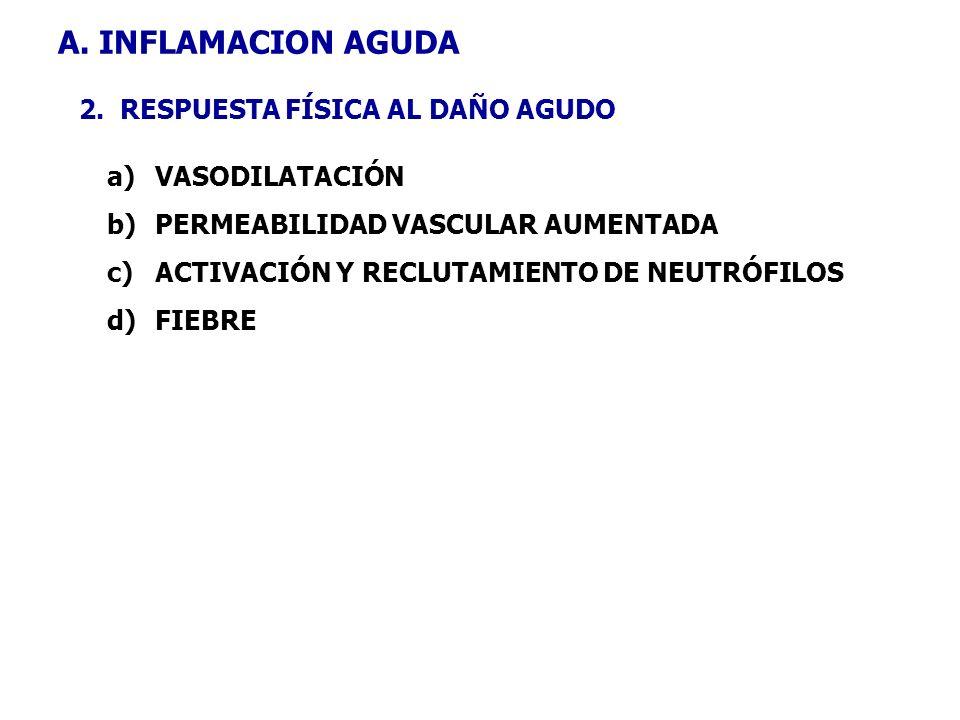 A. INFLAMACION AGUDA 2. RESPUESTA FÍSICA AL DAÑO AGUDO a)VASODILATACIÓN b)PERMEABILIDAD VASCULAR AUMENTADA c)ACTIVACIÓN Y RECLUTAMIENTO DE NEUTRÓFILOS