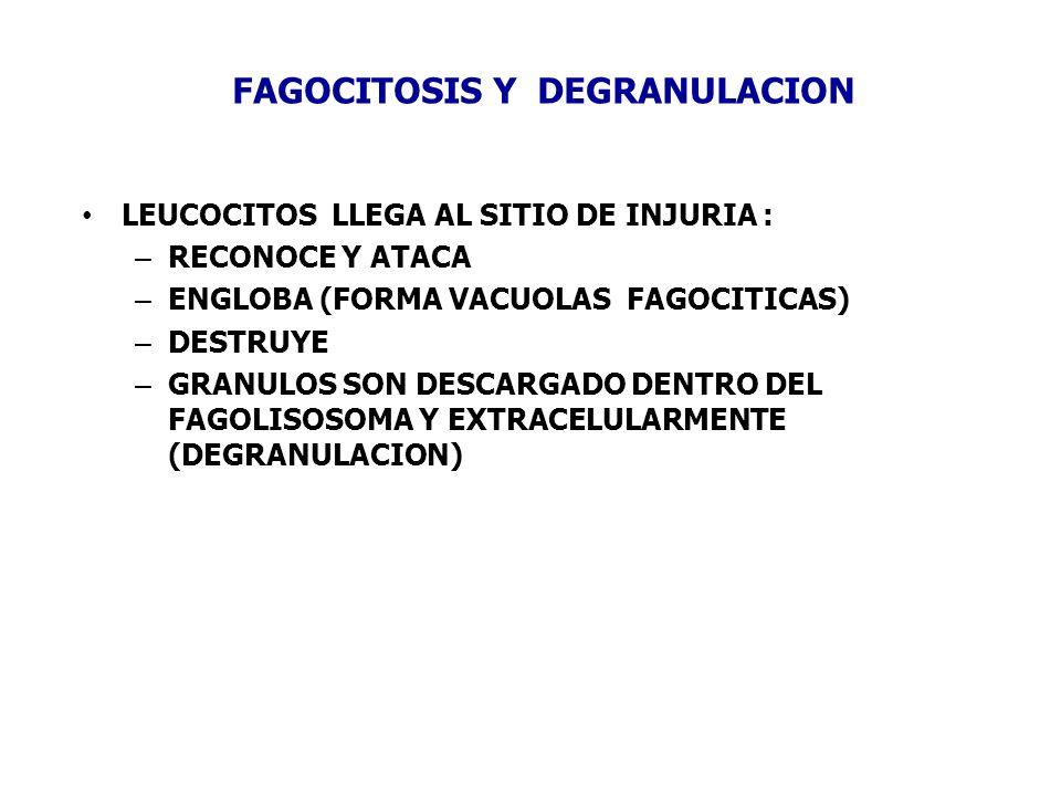 FAGOCITOSIS Y DEGRANULACION LEUCOCITOS LLEGA AL SITIO DE INJURIA : – RECONOCE Y ATACA – ENGLOBA (FORMA VACUOLAS FAGOCITICAS) – DESTRUYE – GRANULOS SON