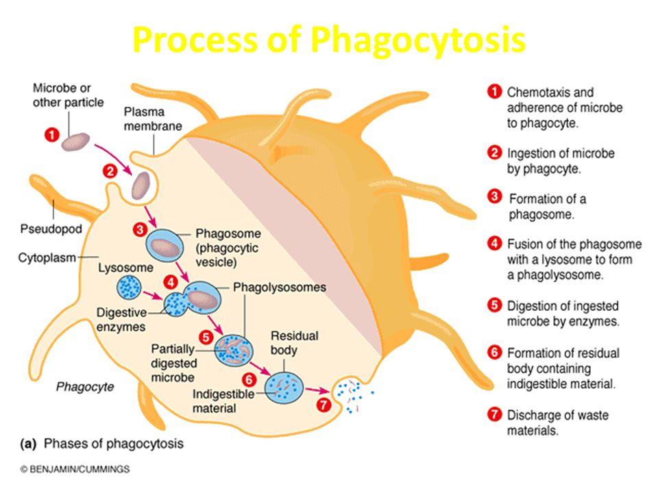 Process of Phagocytosis