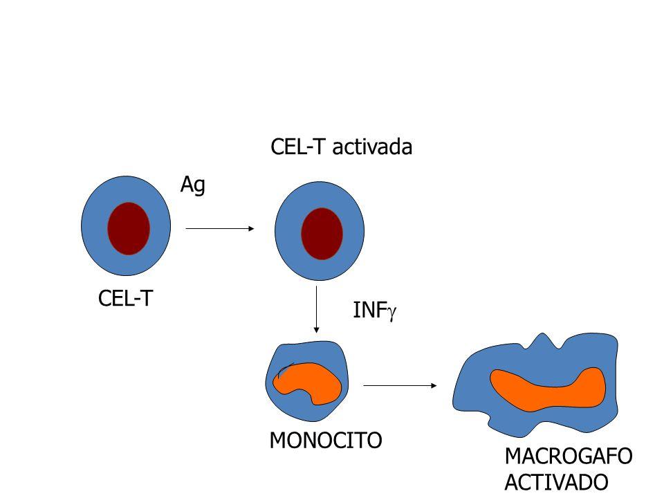CEL-T Ag CEL-T activada INF MONOCITO MACROGAFO ACTIVADO
