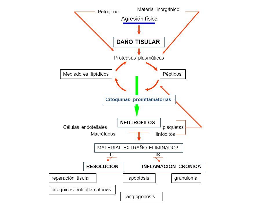 Patógeno Material inorgánico Agresión física DAÑO TISULAR Proteasas plasmáticas PéptidosMediadores lipídicos Citoquinas proinflamatorias NEUTROFILOS p