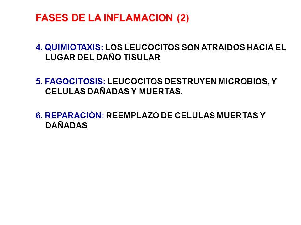 FASES DE LA INFLAMACION (2) 4. QUIMIOTAXIS: LOS LEUCOCITOS SON ATRAIDOS HACIA EL LUGAR DEL DAÑO TISULAR 5. FAGOCITOSIS: LEUCOCITOS DESTRUYEN MICROBIOS