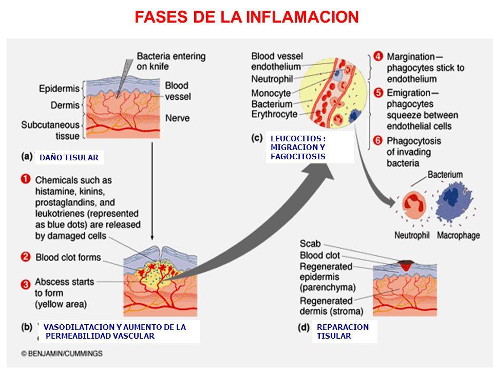 FASES DE LA INFLAMACION DAÑO TISULAR VASODILATACION Y AUMENTO DE LA PERMEABILIDAD VASCULAR LEUCOCITOS : MIGRACION Y FAGOCITOSIS REPARACION TISULAR