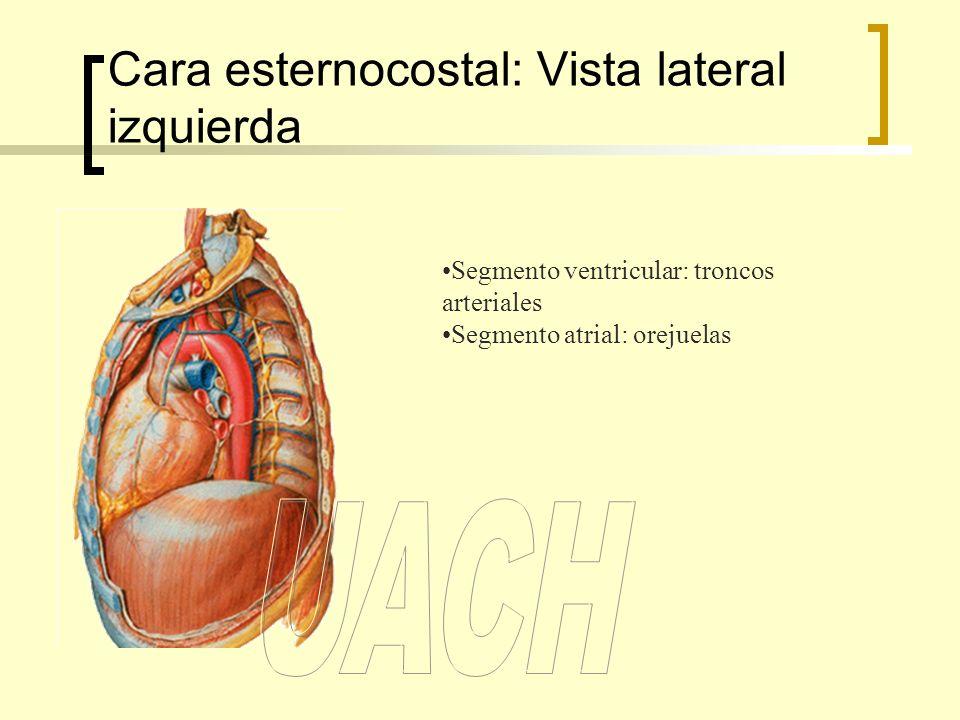 Cara esternocostal: Vista lateral izquierda Segmento ventricular: troncos arteriales Segmento atrial: orejuelas