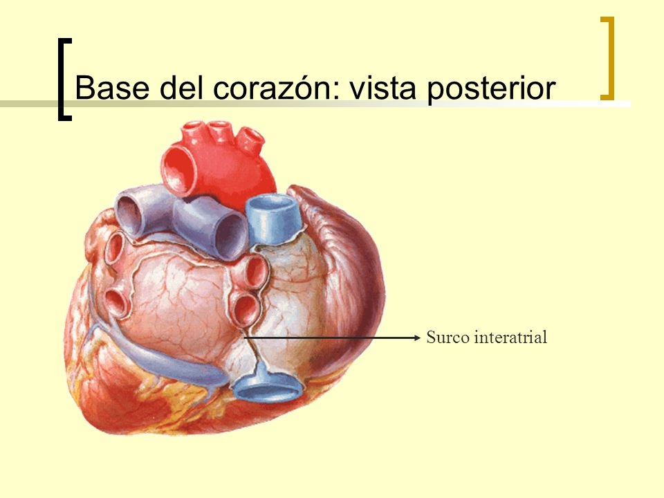 Base del corazón: vista posterior Surco interatrial