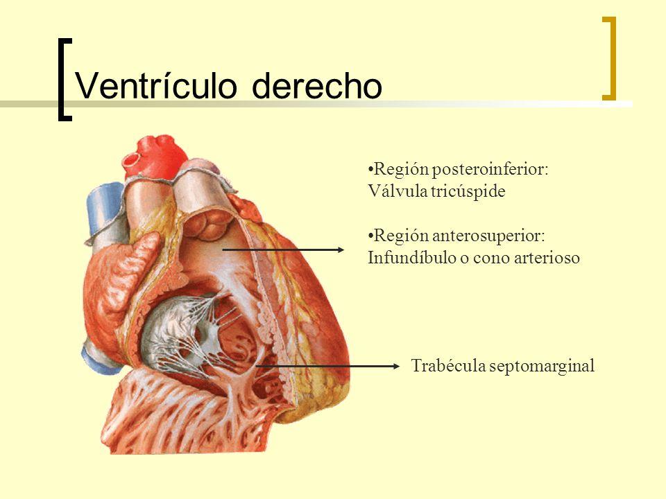 Ventrículo derecho Trabécula septomarginal Región posteroinferior: Válvula tricúspide Región anterosuperior: Infundíbulo o cono arterioso