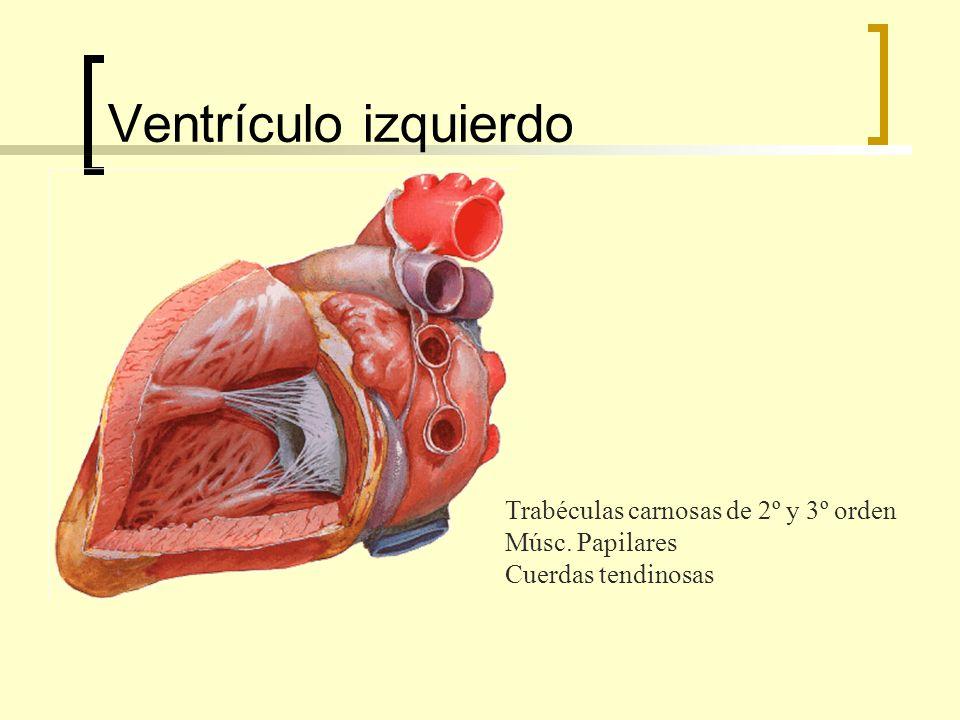 Ventrículo izquierdo Trabéculas carnosas de 2º y 3º orden Músc. Papilares Cuerdas tendinosas