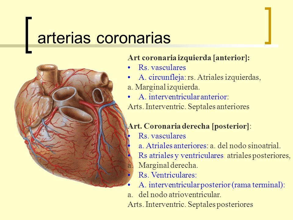 arterias coronarias Art coronaria izquierda [anterior]: Rs.