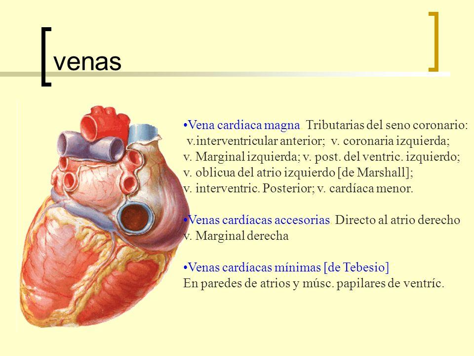 venas Vena cardiaca magna.Tributarias del seno coronario: v.interventricular anterior; v.