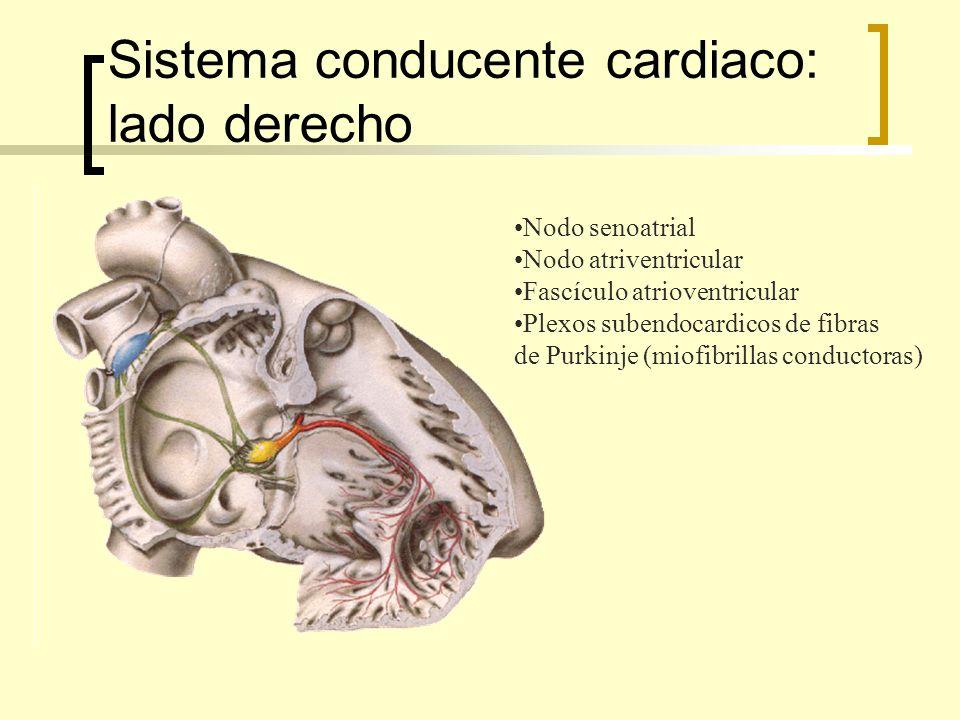 Sistema conducente cardiaco: lado derecho Nodo senoatrial Nodo atriventricular Fascículo atrioventricular Plexos subendocardicos de fibras de Purkinje (miofibrillas conductoras)