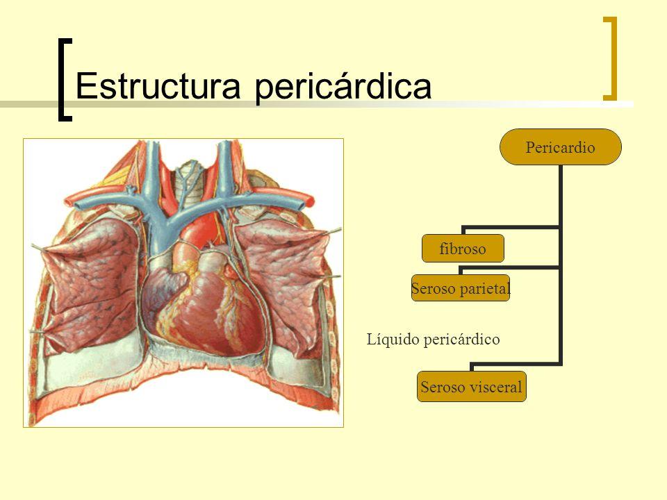 Estructura pericárdica Pericardio fibroso Seroso parietal Seroso visceral Líquido pericárdico