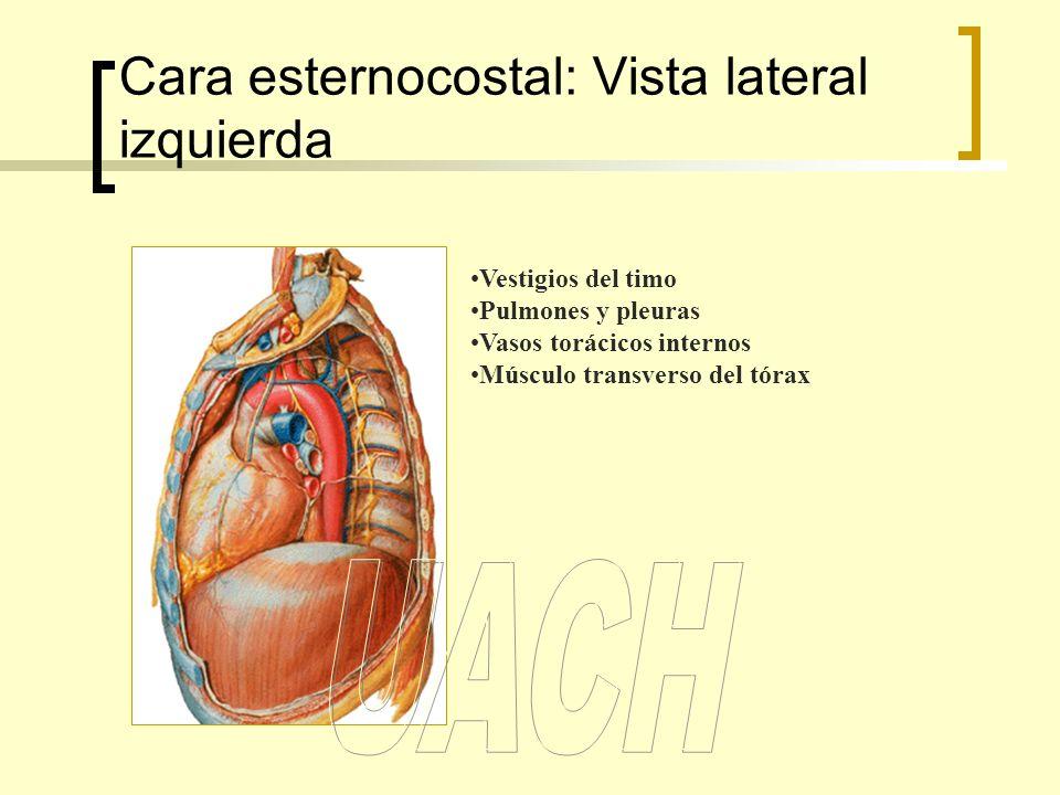 Cara esternocostal: Vista lateral izquierda Vestigios del timo Pulmones y pleuras Vasos torácicos internos Músculo transverso del tórax