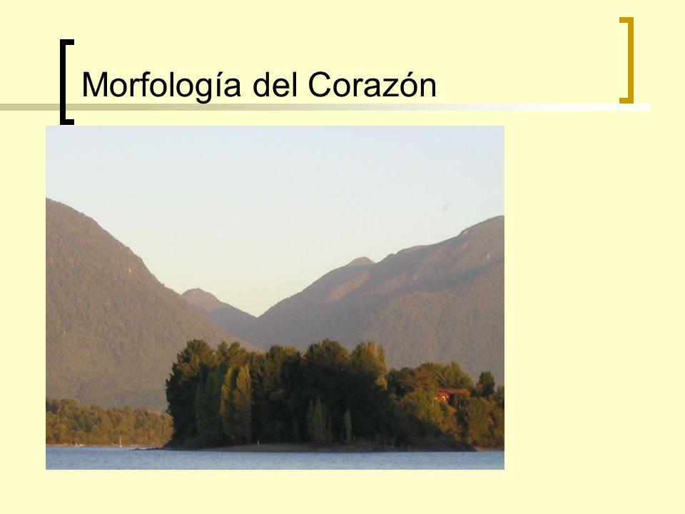 Morfología del Corazón