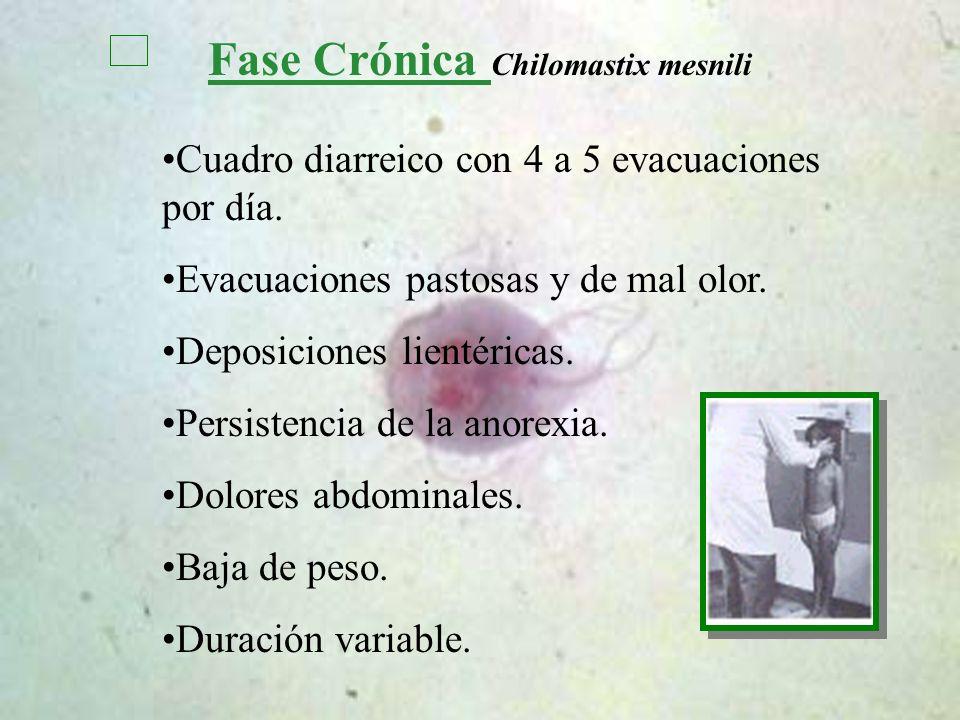 Fase Crónica Chilomastix mesnili Cuadro diarreico con 4 a 5 evacuaciones por día. Evacuaciones pastosas y de mal olor. Deposiciones lientéricas. Persi
