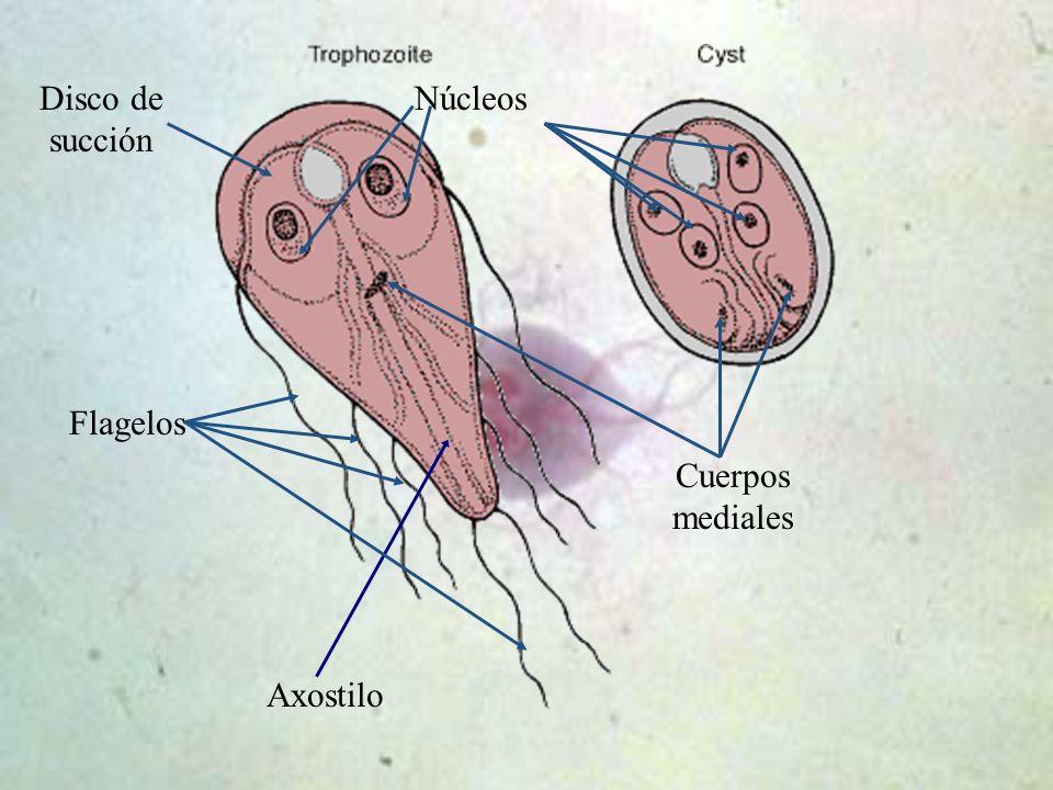 Axostilo Flagelos NúcleosDisco de succión Cuerpos mediales