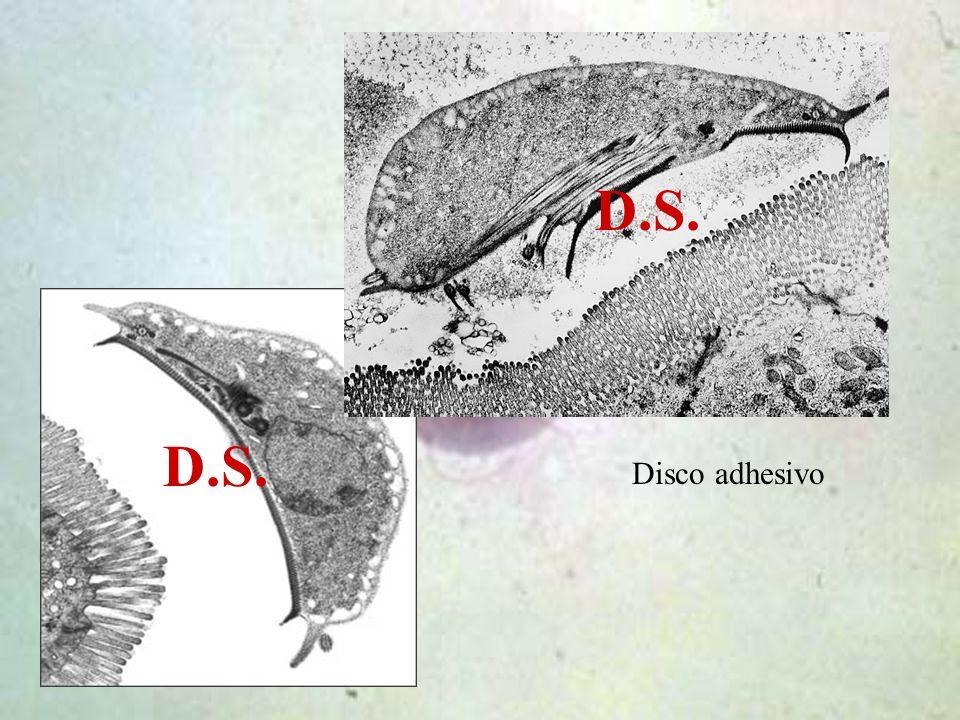 D.S. Disco adhesivo