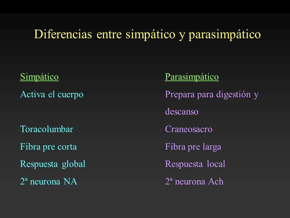 Diferencias entre simpático y parasimpático SimpáticoParasimpático Activa el cuerpoPrepara para digestión y descanso ToracolumbarCraneosacro Fibra pre
