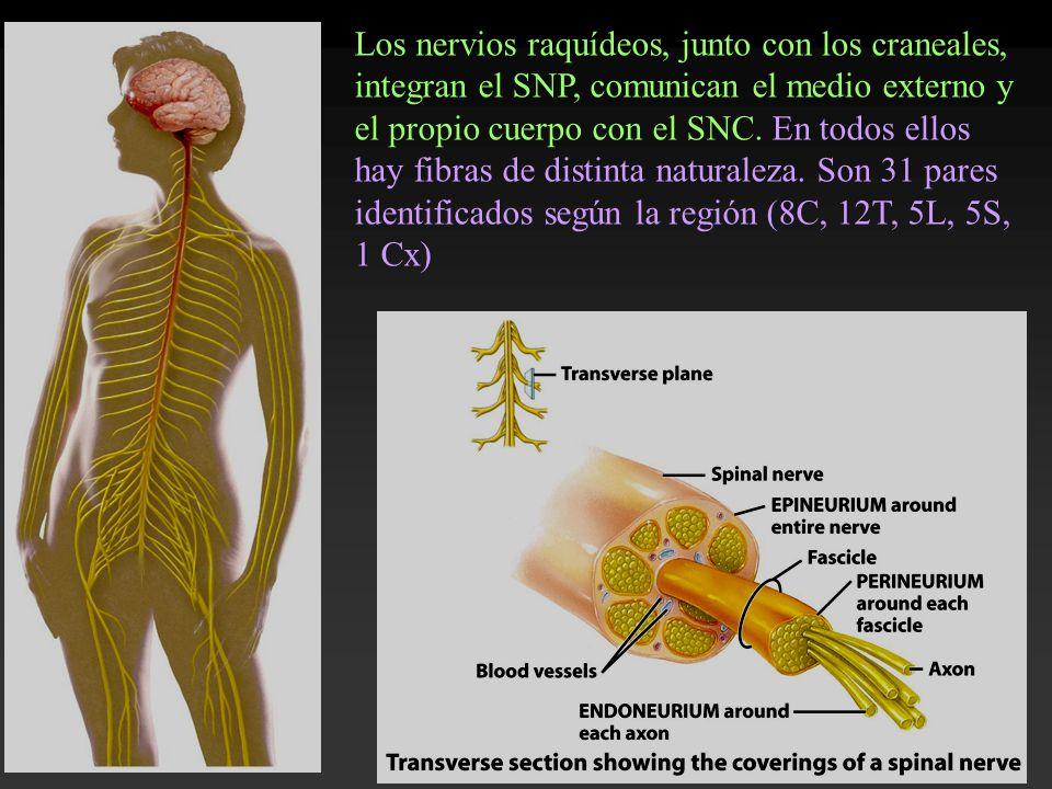 Los nervios raquídeos, junto con los craneales, integran el SNP, comunican el medio externo y el propio cuerpo con el SNC. En todos ellos hay fibras d