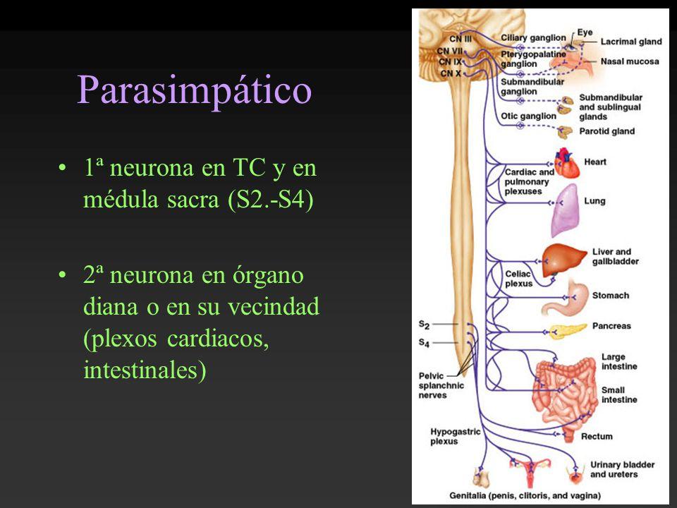 Parasimpático 1ª neurona en TC y en médula sacra (S2.-S4) 2ª neurona en órgano diana o en su vecindad (plexos cardiacos, intestinales)