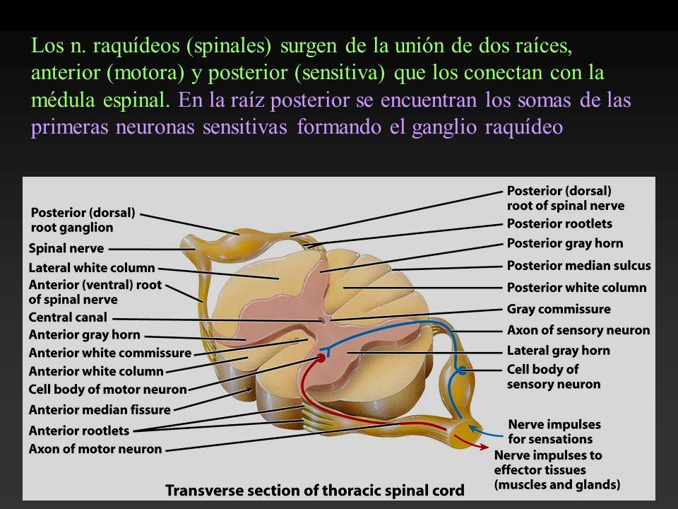 Los n. raquídeos (spinales) surgen de la unión de dos raíces, anterior (motora) y posterior (sensitiva) que los conectan con la médula espinal. En la