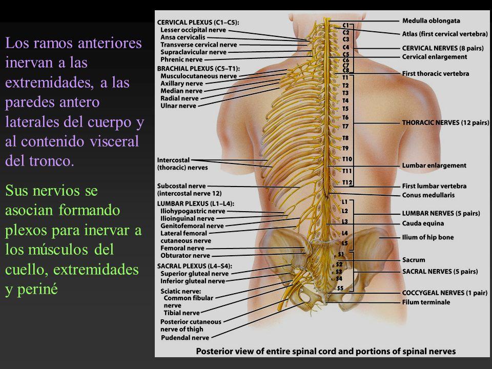 Los ramos anteriores inervan a las extremidades, a las paredes antero laterales del cuerpo y al contenido visceral del tronco. Sus nervios se asocian