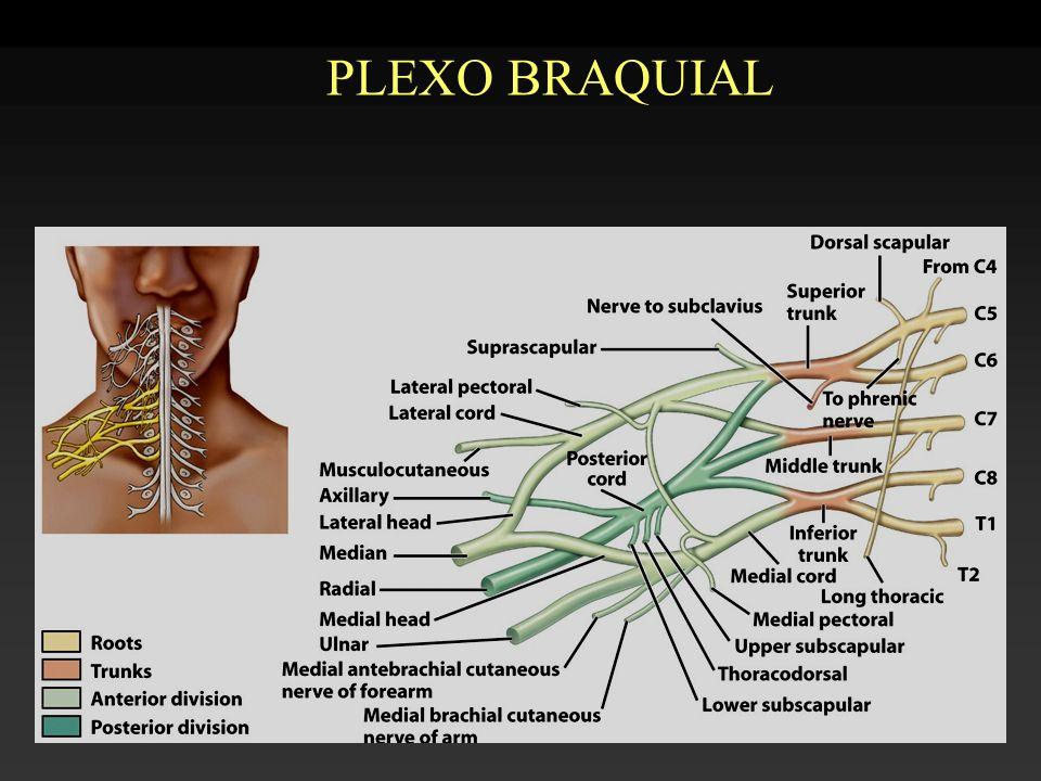 Ramas terminales del plexo braquial: -cubital -mediano -musculocutáneo -radial -circunflejo (axilar) -cutáneo med.