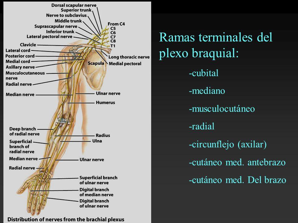 Ramas terminales del plexo braquial: -cubital -mediano -musculocutáneo -radial -circunflejo (axilar) -cutáneo med. antebrazo -cutáneo med. Del brazo