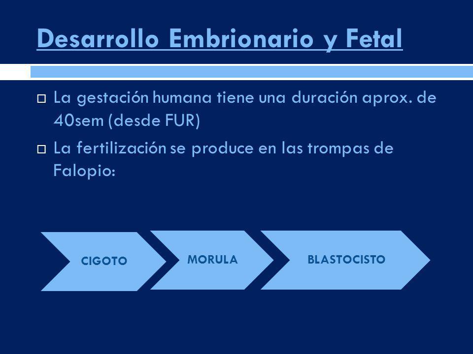Desarrollo Embrionario y Fetal La gestación humana tiene una duración aprox. de 40sem (desde FUR) La fertilización se produce en las trompas de Falopi