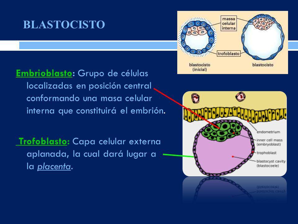 Embrioblasto: Grupo de células localizadas en posición central conformando una masa celular interna que constituirá el embrión. Trofoblasto: Capa celu