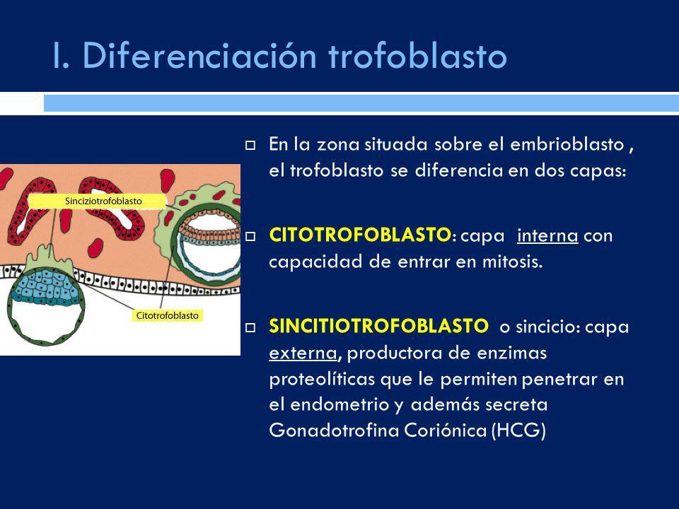 I. Diferenciación trofoblasto En la zona situada sobre el embrioblasto, el trofoblasto se diferencia en dos capas: CITOTROFOBLASTO: capa interna con c