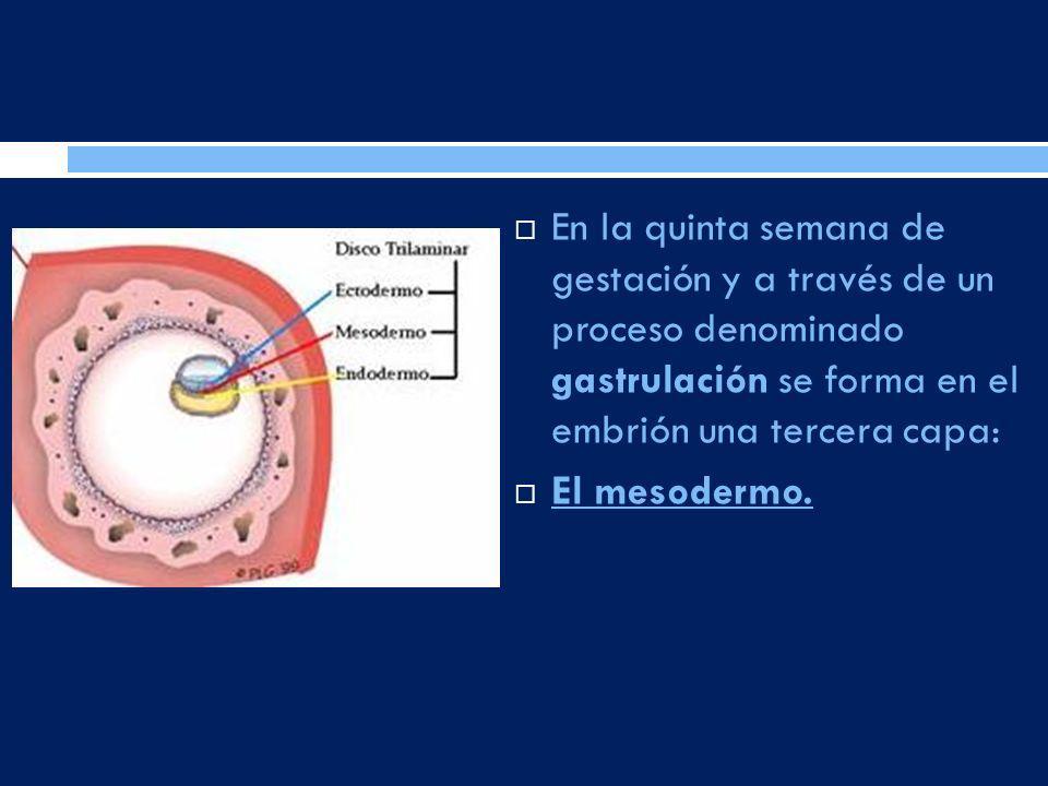 En la quinta semana de gestación y a través de un proceso denominado gastrulación se forma en el embrión una tercera capa: El mesodermo.