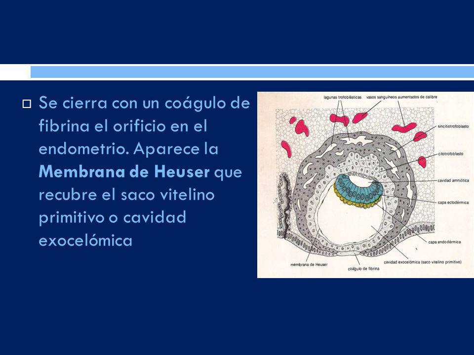 Se cierra con un coágulo de fibrina el orificio en el endometrio. Aparece la Membrana de Heuser que recubre el saco vitelino primitivo o cavidad exoce