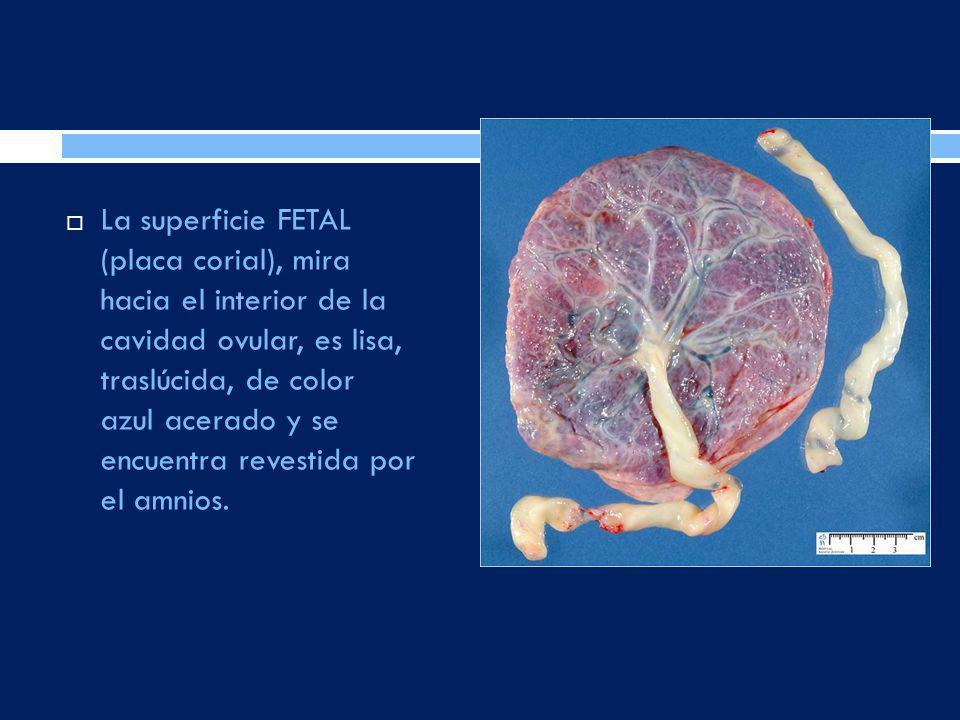 La superficie FETAL (placa corial), mira hacia el interior de la cavidad ovular, es lisa, traslúcida, de color azul acerado y se encuentra revestida p