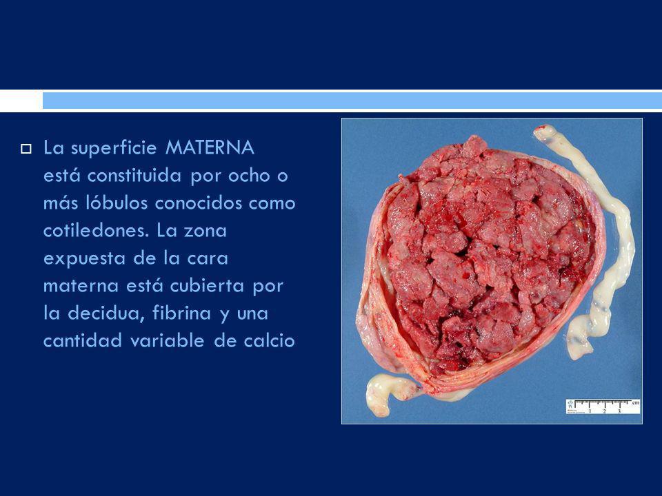 La superficie MATERNA está constituida por ocho o más lóbulos conocidos como cotiledones. La zona expuesta de la cara materna está cubierta por la dec