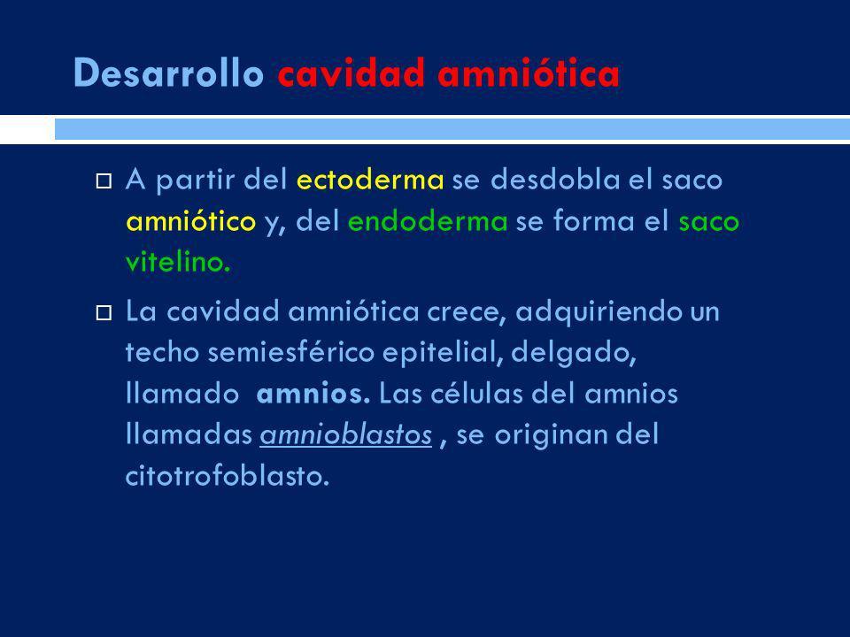 A partir del ectoderma se desdobla el saco amniótico y, del endoderma se forma el saco vitelino. La cavidad amniótica crece, adquiriendo un techo semi