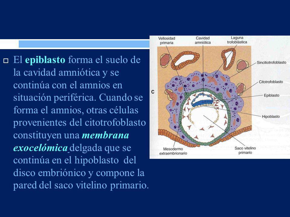 El epiblasto forma el suelo de la cavidad amniótica y se continúa con el amnios en situación periférica. Cuando se forma el amnios, otras células prov